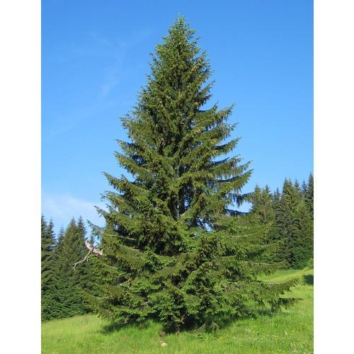 Фото товара Ель обыкновенная Picea abies - вид 1