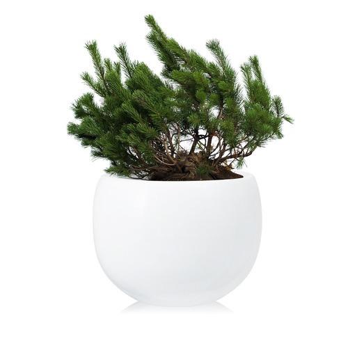 Фото товара Сосна горная Pinus mugo Mughus - вид 1