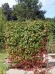 Фото товара Виноград девичий пятилисточковый  Parthenocissus quinquefolia - вид 1